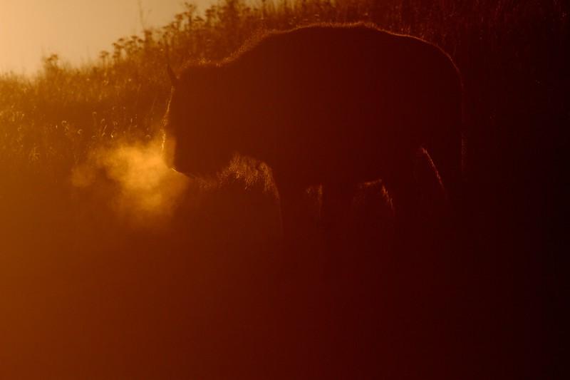 Bison backlit sunrise Teddy Roosevelt National Park ND IMG_6012.jpg