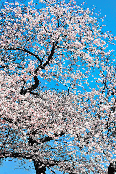 Yoshino Ornamental Cherry Tree