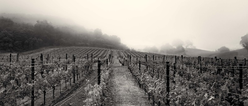 Kenzo Vineyards in Fog.