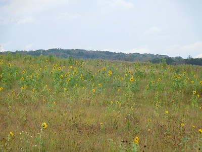 Bando Sunflowers