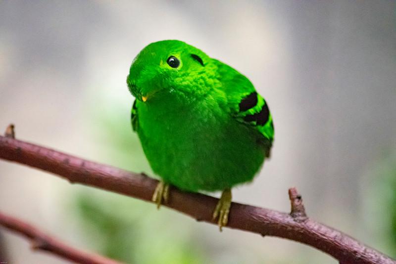 Green Broadbill, Male