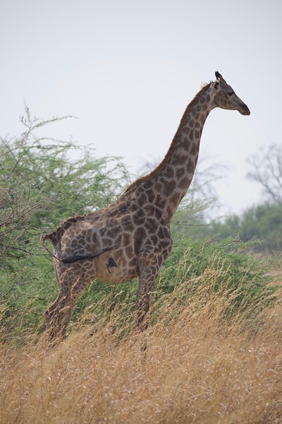 Lone Giraffe, Selinda Explorer camp, Botswana
