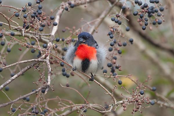 222 Dicaeidae - Flowerpeckers