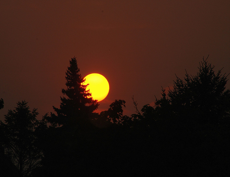 Pine in the sun .jpg