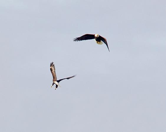Birds of Sauvie Island