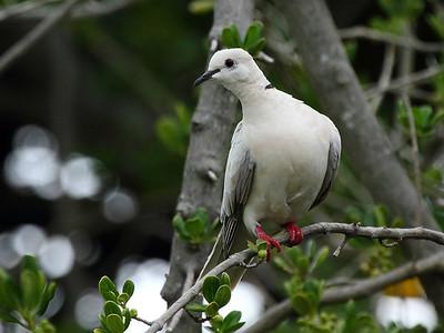 Misc Introduced Birds