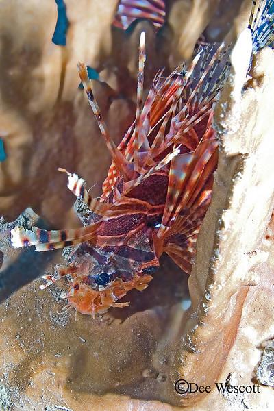 Spotfin Lionfish 2.jpg