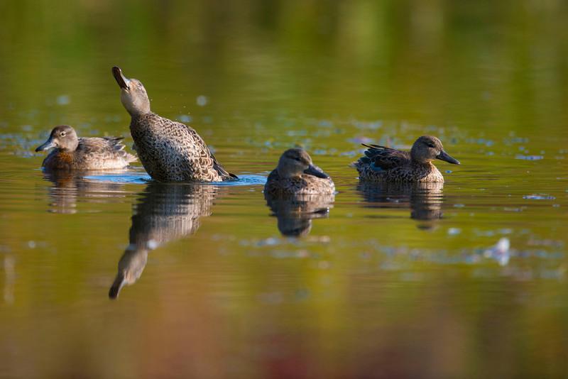 Ducks_7527lowres.jpg