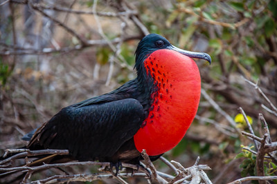 Galapagos Islands - Frigate Birds, Blue-footed Boobies 2012