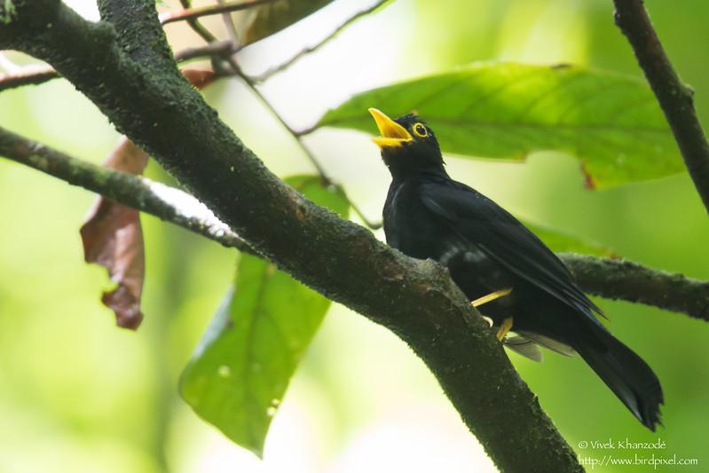 Yellow-legged Thrush - Male- Record - Gilpin Trace, Tobago