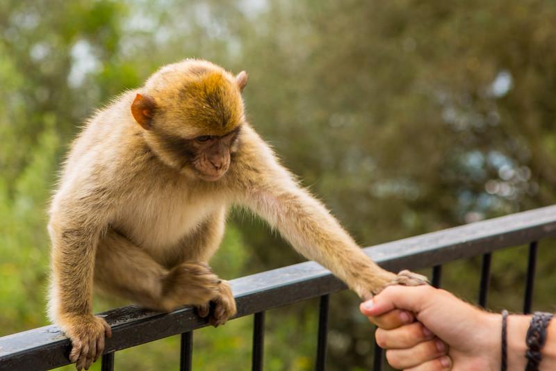 Monkey on Rock of Gibraltar