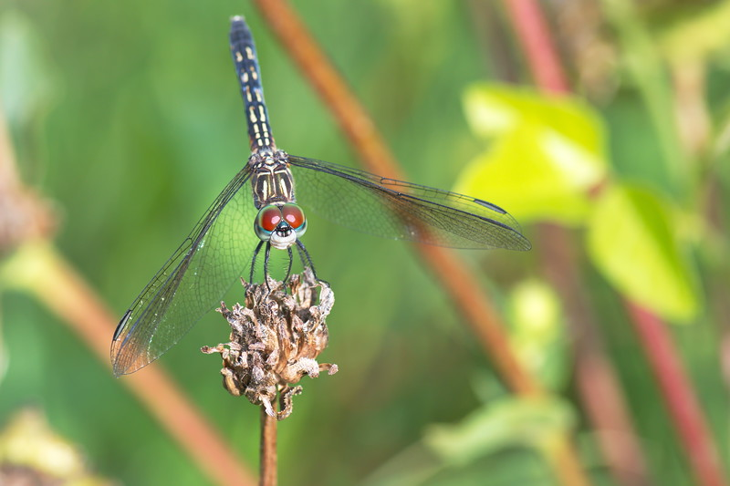 20190619_AnahuacNWR_Butterfly_Garden_Dragon_Fly_500_8205.jpg