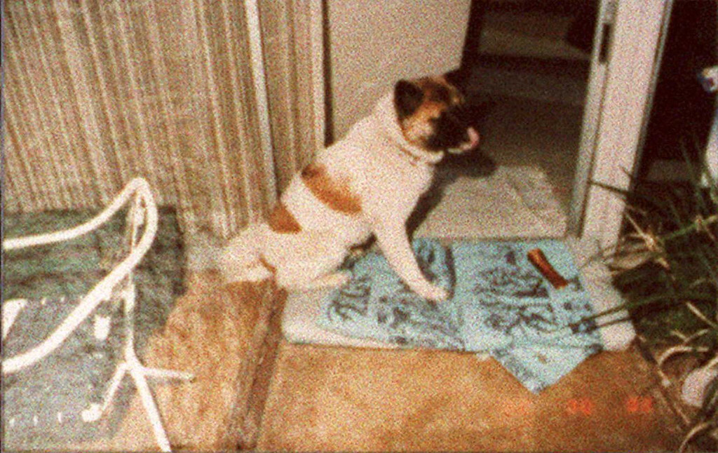 """. Photo released 08 February during the O.J. Simpson double murder trial shows O.J. Simpson ex-wife Nicole Brown Simpson\'s akito dog \""""Kato\"""" which led witness Sukru Boztepe to the bodies of Nicole Brown and Ron Goldman.  The akito dog\'s paws were reportedly covered with blood and was acting agitated.   (POO/AFP/Getty Images)"""