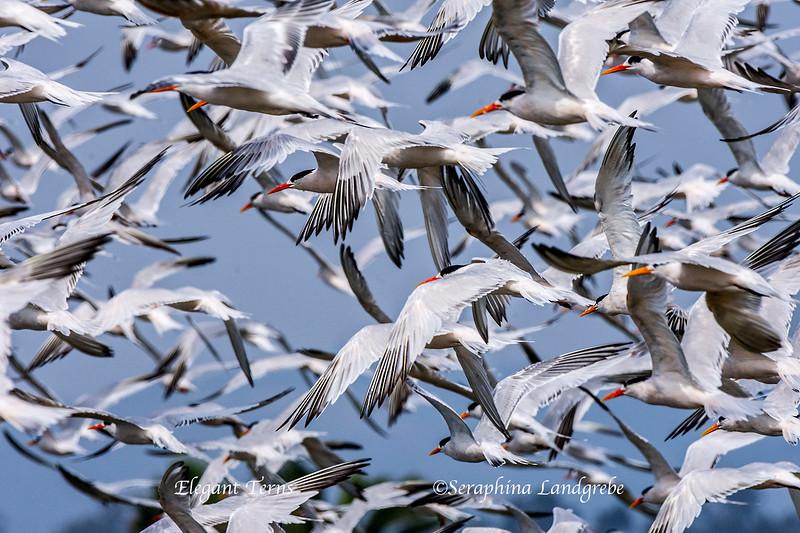 _DSC2131Flock Elegant Terns.jpg