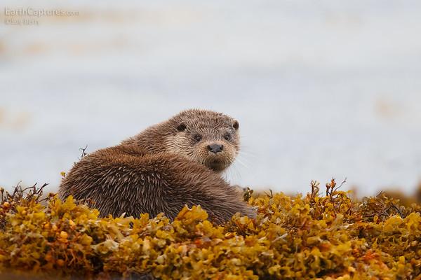 Wildlife of the Scottish Coasts