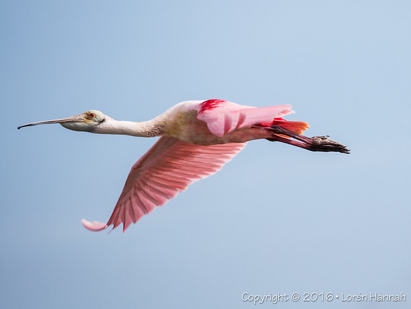 12/15/16 Birding at Merritt NWR - Merritt Island, FL
