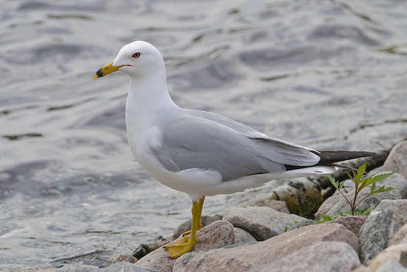 Gull - Ring-billed - Grand Rapids, MN - 02