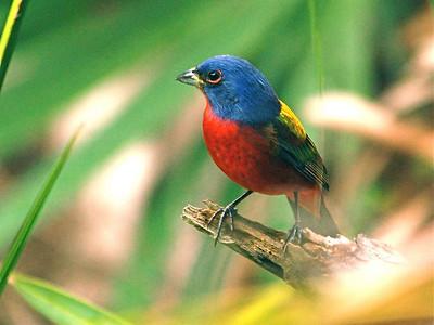 Cardinals, Grosbeaks and Allies (Cardinalidae)