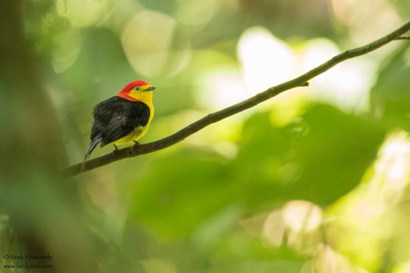 Wire-tailed Manakin  - Amazon, Ecuador