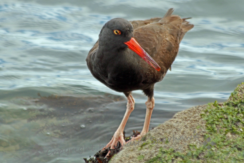 Black Oystercatcher Closeup ~ This oystercatcher was photograped along the lagoon near The Rock in Morro Bay.