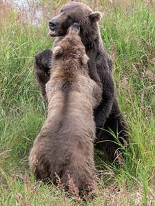 Bears of Brooks Falls