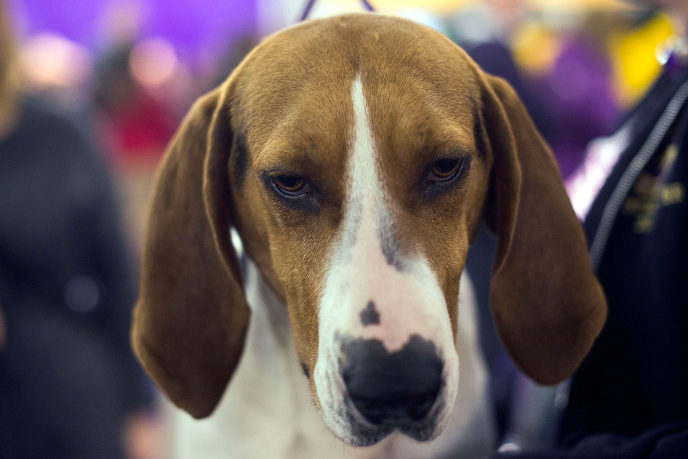 . Paris, a Treeing Walker coonhound, sits at a grooming station during the 137th Westminster Kennel Club Dog Show in New York, February 11, 2013. More than 2,700 prized dogs will be on display at the annual canine competition. Two new breeds, the Russell terrier and the Treeing Walker coonhound, will be introduced in the contest.  REUTERS/Keith Bedford