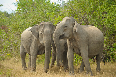 Elephants in Yala