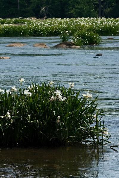 lilies 5.jpg
