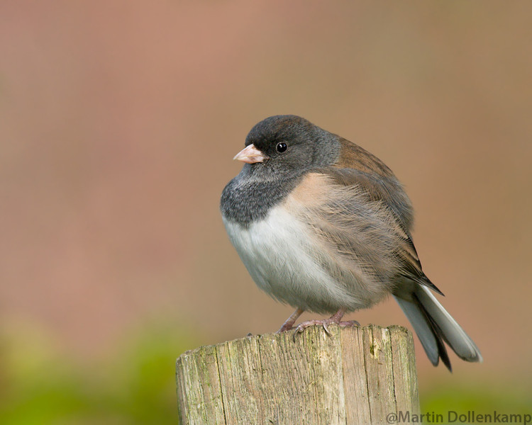Dark-eyed Junco female Oregon