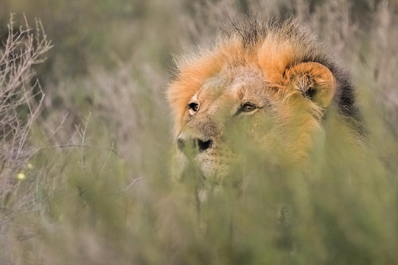 Male lion-1.JPG