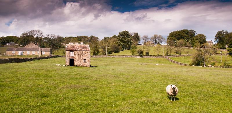 Sheep in Teesdale