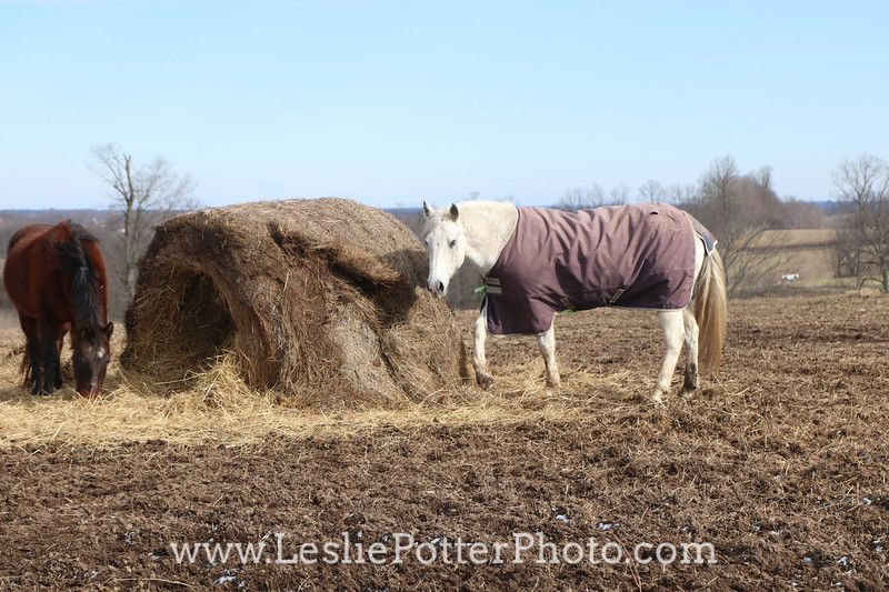 Horse Standing by Roundbale