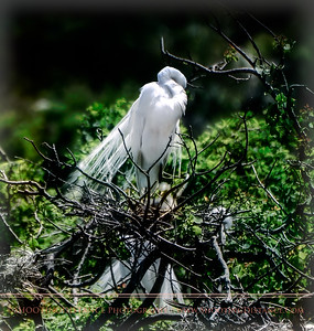 Great Egret Preens While Babies Gape, Rookery at Smith Oaks, High Island, TX