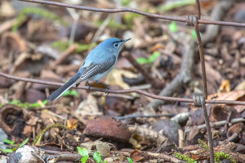Blue-Gray Gnatcatcher.jpg