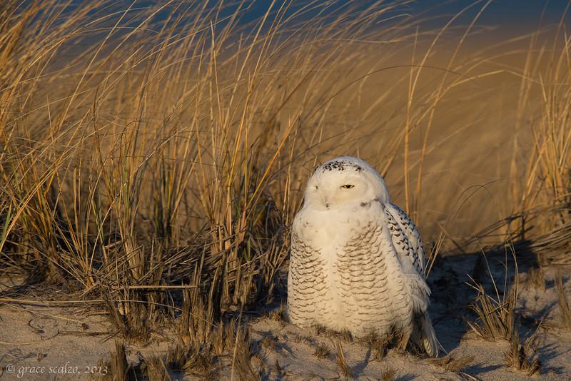 Snowy Owl _O8U1175-Edit.jpg