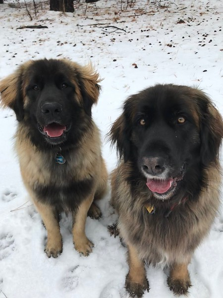Brielle (Red, 4 years) with Ranger (C Litter)