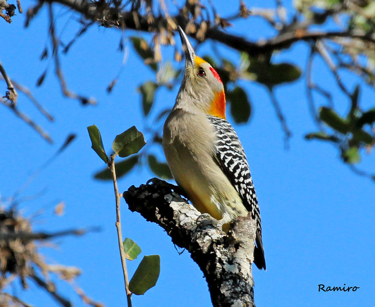 Golden-Fronted Woodpecker2 Braunig 11-9-15 904.jpg