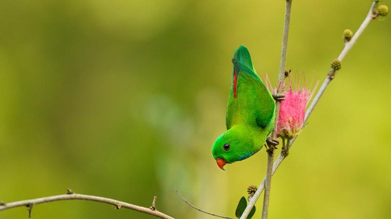 Vernal-hanging-parrot-goa-2.jpg