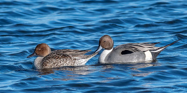 Northern Pintails of Cattail Marsh - 1-4-19