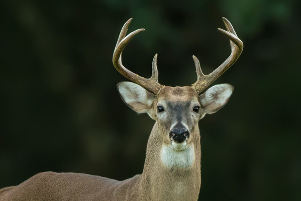 Avery Island Deer