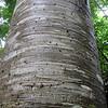 2017_ ceiba tree_Darien_Panama_Dec_IMG_0368