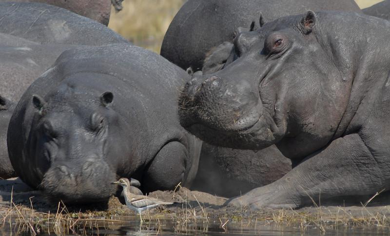 Hippo, Hippopotamus amphibius. Kwai River, Botswana.