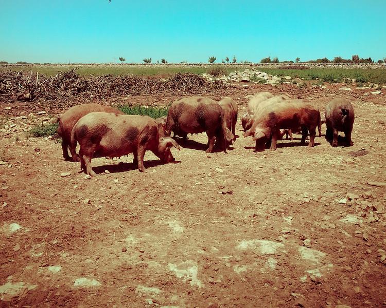 Masseria Marangiosa pigs 2.jpg