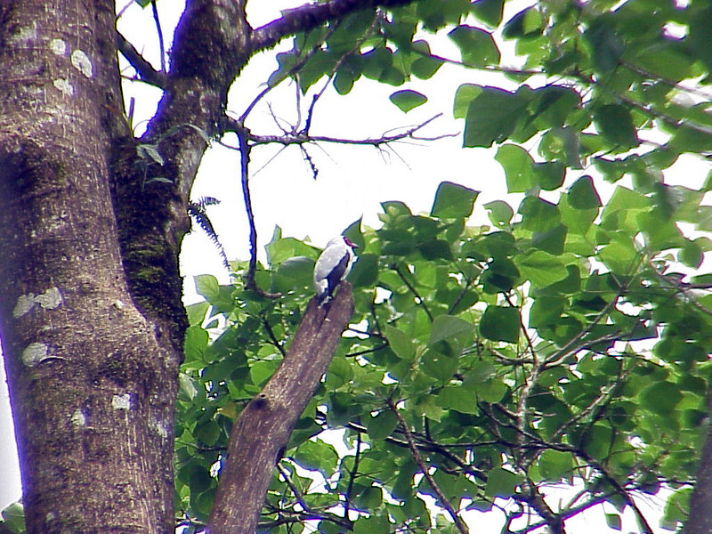Masked Tityra at La Selva Costa Rica 2-11-03 (50898184)