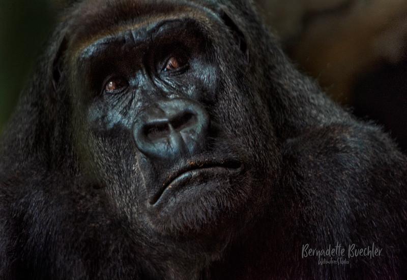 Pensive _Lincoln Park Zoo.jpg