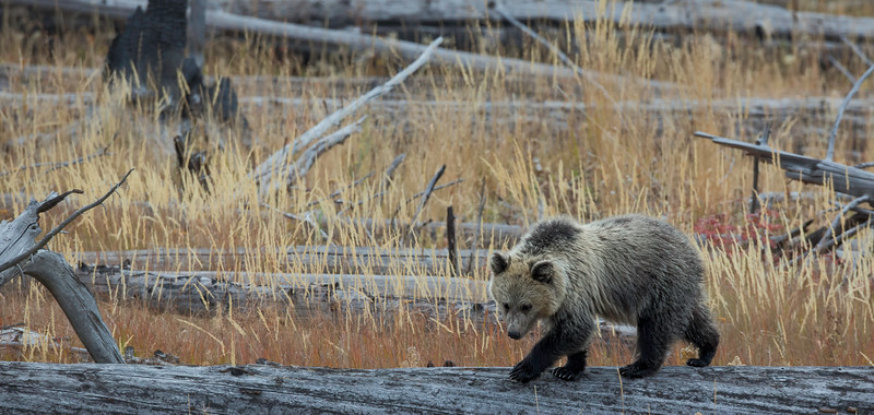 Bears - Alaskan Brown, Grizzly, and Black
