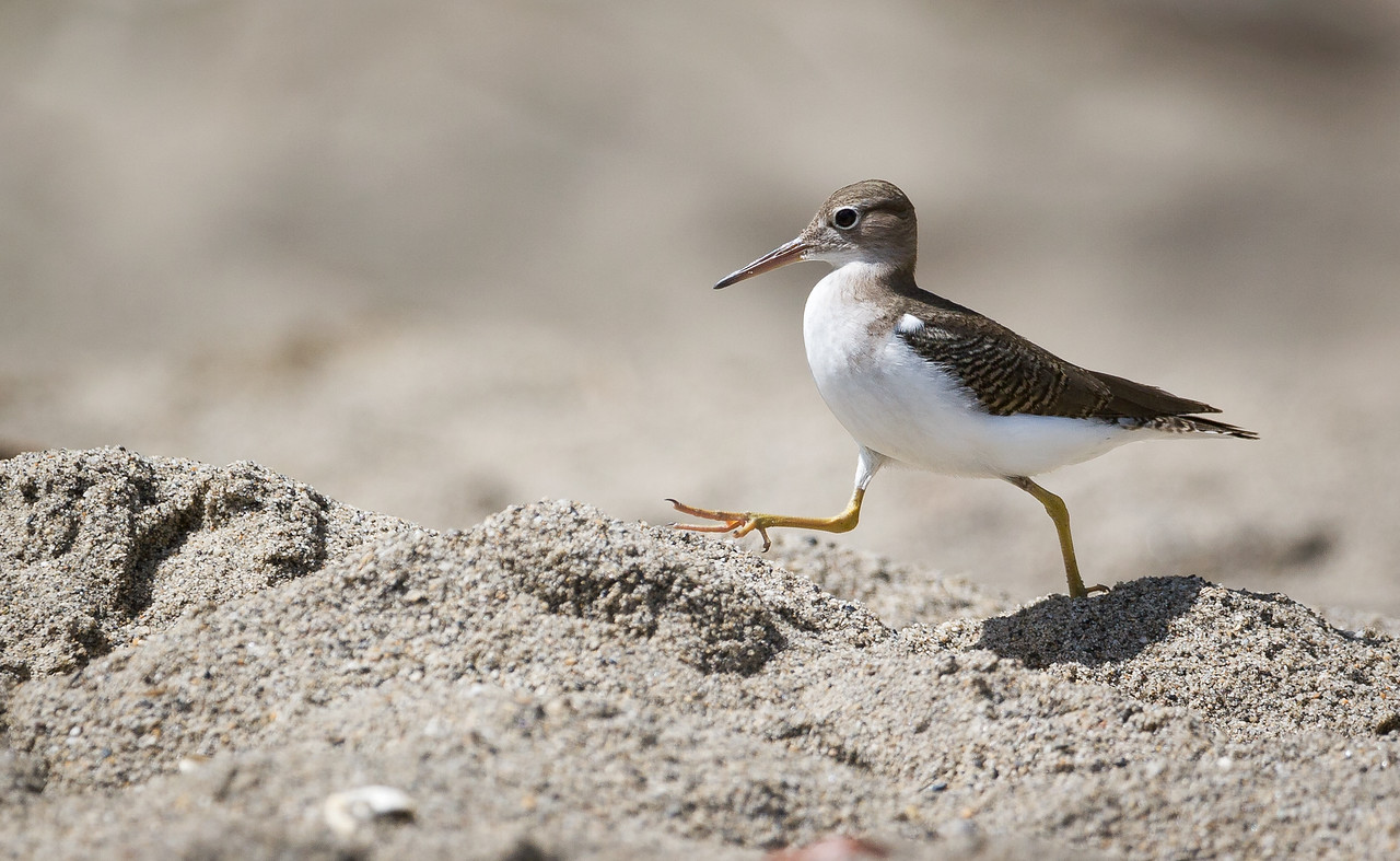 This Sandpiper (?), like myself, spent the afternoon just struttin' up and down the beach.<br /> <br /> Location: Grand Riviere, Trinidad<br /> <br /> Lens used: Canon 100-400mm f4.5-5.6 IS