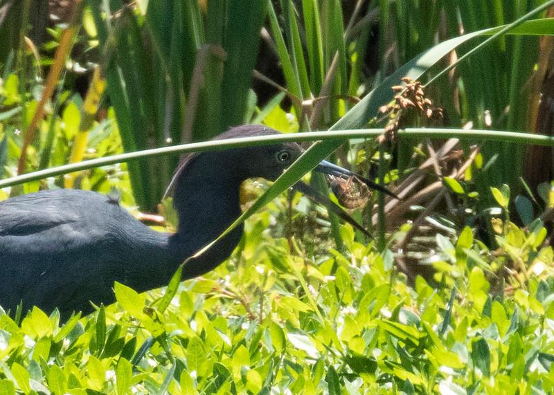 Little Blue Heron Eating Shrimp