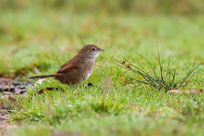 Bristlebirds, Rock Warbler, Pilotbird