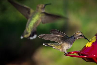 Hummingbirds August 2016